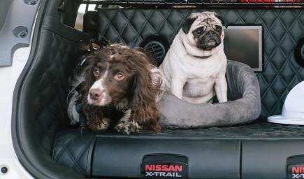 السيارة تسمح بوجود أكثر من كلب